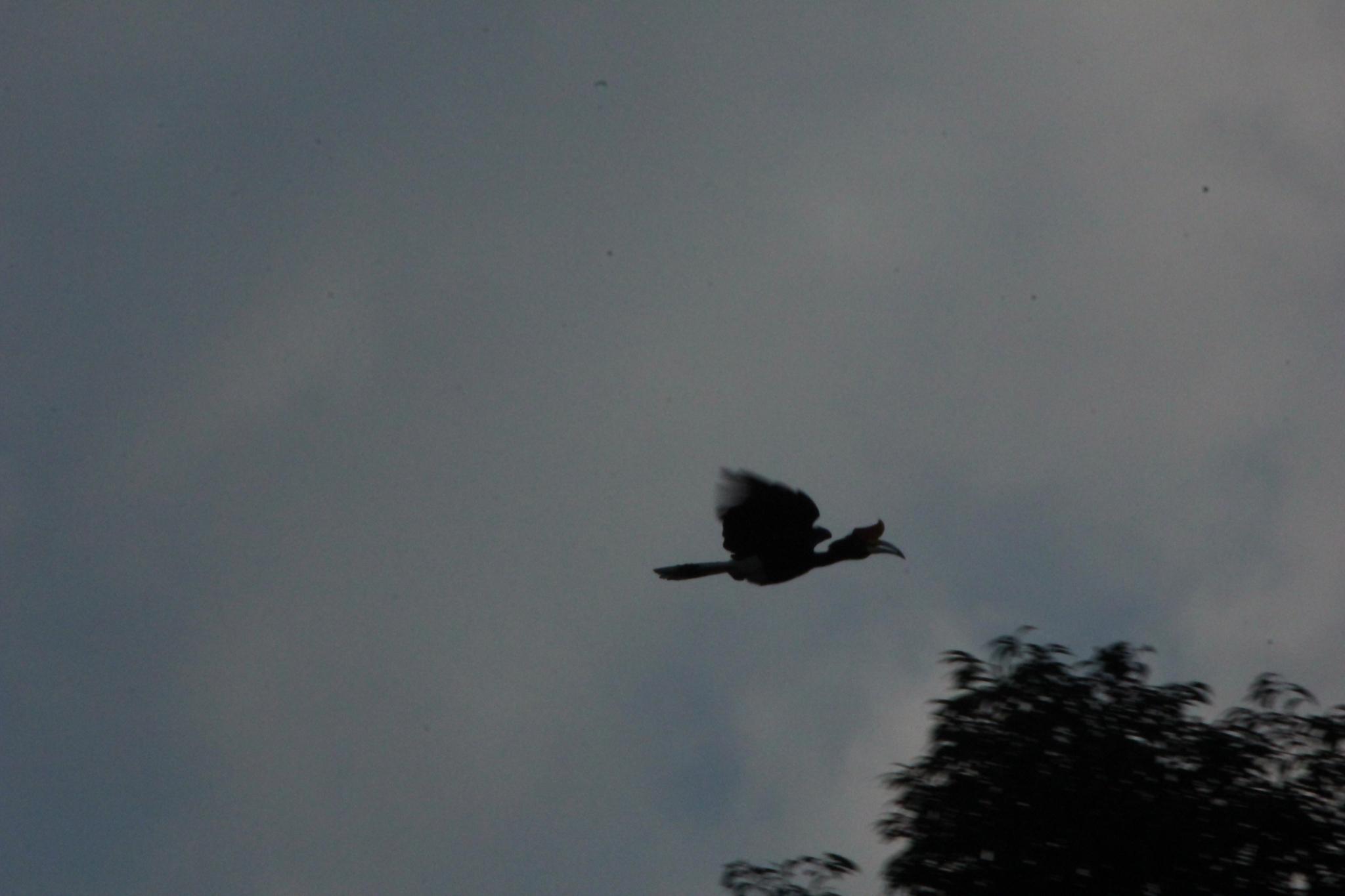 Image of Rhinoceros hornbill