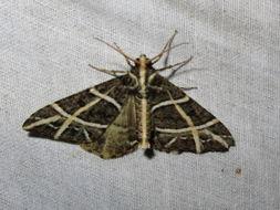 Image of <i>Arichanna transfasciata</i> Warren 1893