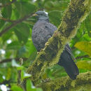 Image of Sao Tome Olive Pigeon