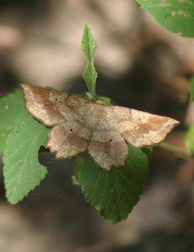 Image of <i>Euchlaena deplanaria</i> Walker 1862