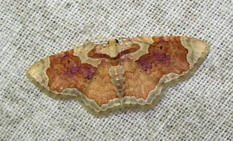 Image of <i>Palpoctenidia phoenicosoma</i> Swinhoe 1895
