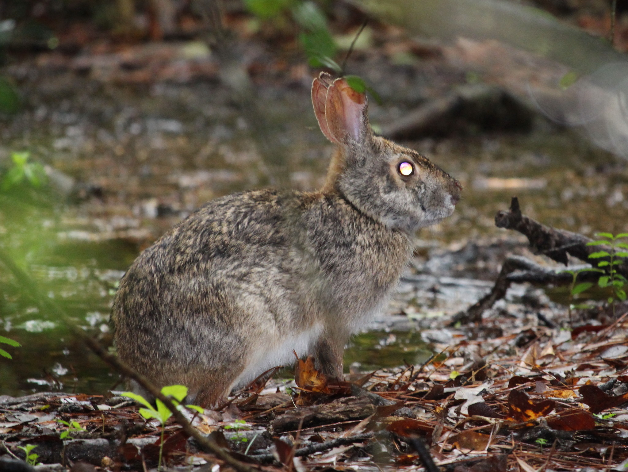 Image of Swamp Rabbit