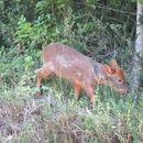 Image of southern pudu