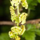 Image of <i>Ribes rubrum</i>