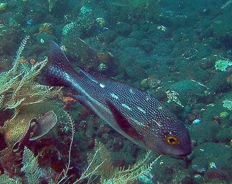 Image of Midnight seaperch