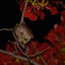 Image of Angolan Epauletted Fruit Bat