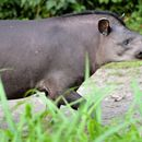 Image of Brazilian Tapir