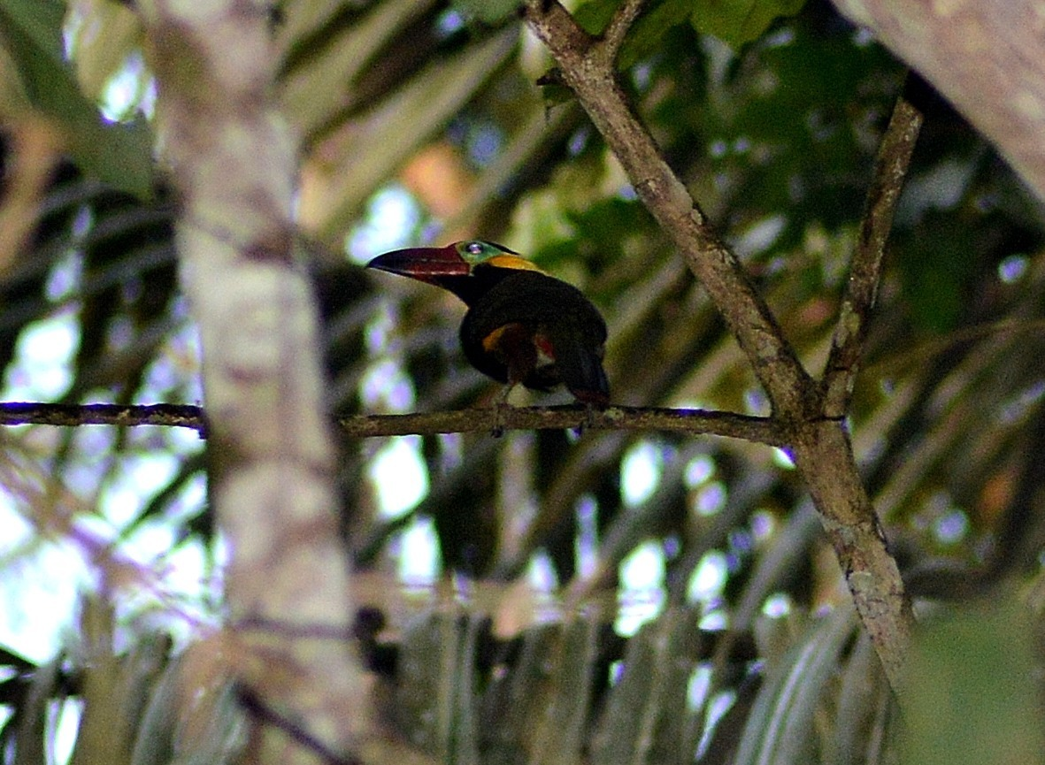 Image of Golden-collared Toucanet