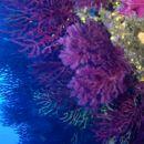 Image of chameleon sea fan