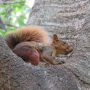 Image of Southern Amazon Red Squirrel