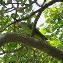 Image of Dusky-headed parakeet