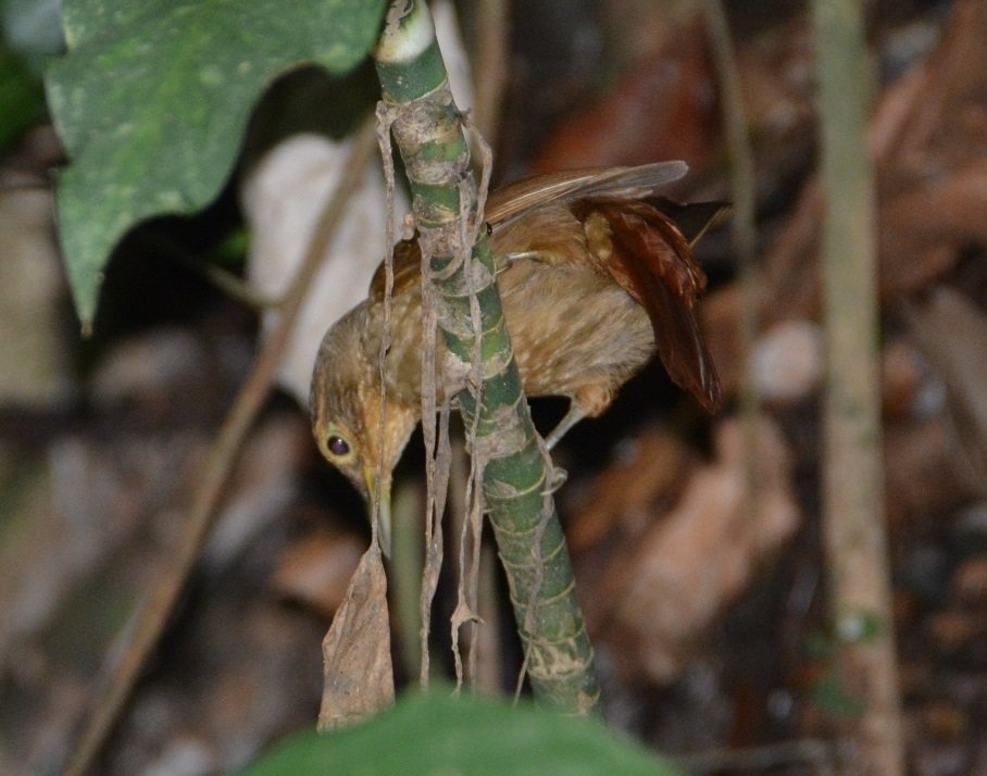 Image of Buff-throated Foliage-gleaner