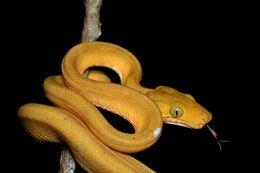 Image of Amazonian tree boa