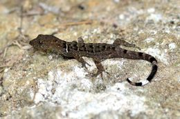 Image of O'Shaughnessy's Gecko