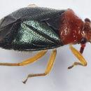 Image of Yucca Plant Bug