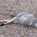 Image of Black-gloved Brush Wallaby