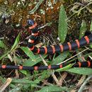 Image of Black Halloween Snake