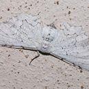 Image of <i>Thyrinteina arnobia</i> Stoll 1782