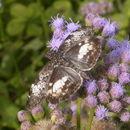 Image of <i>Chiomara <i>georgina</i></i> ssp. georgina