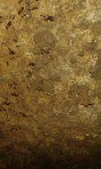 Image of <i>Pheidole megacephala</i> (Fabricius 1793)