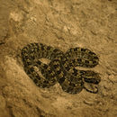 Image of Three Horned-scaled Pitviper