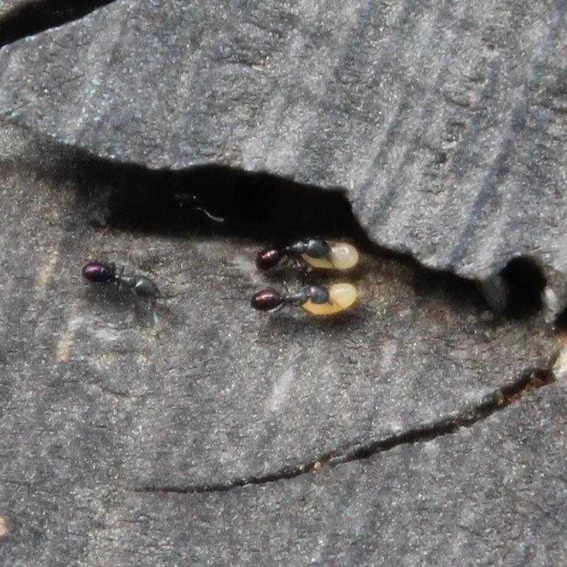 Image of <i>Ochetellus glaber</i> (Mayr 1862)