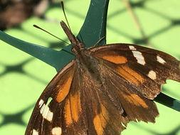 Image of <i>Libytheana carinenta</i> ssp. <i>bachmanii</i> (Kirtland 1851)