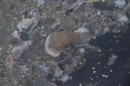 Image of tidepool ghost shrimp