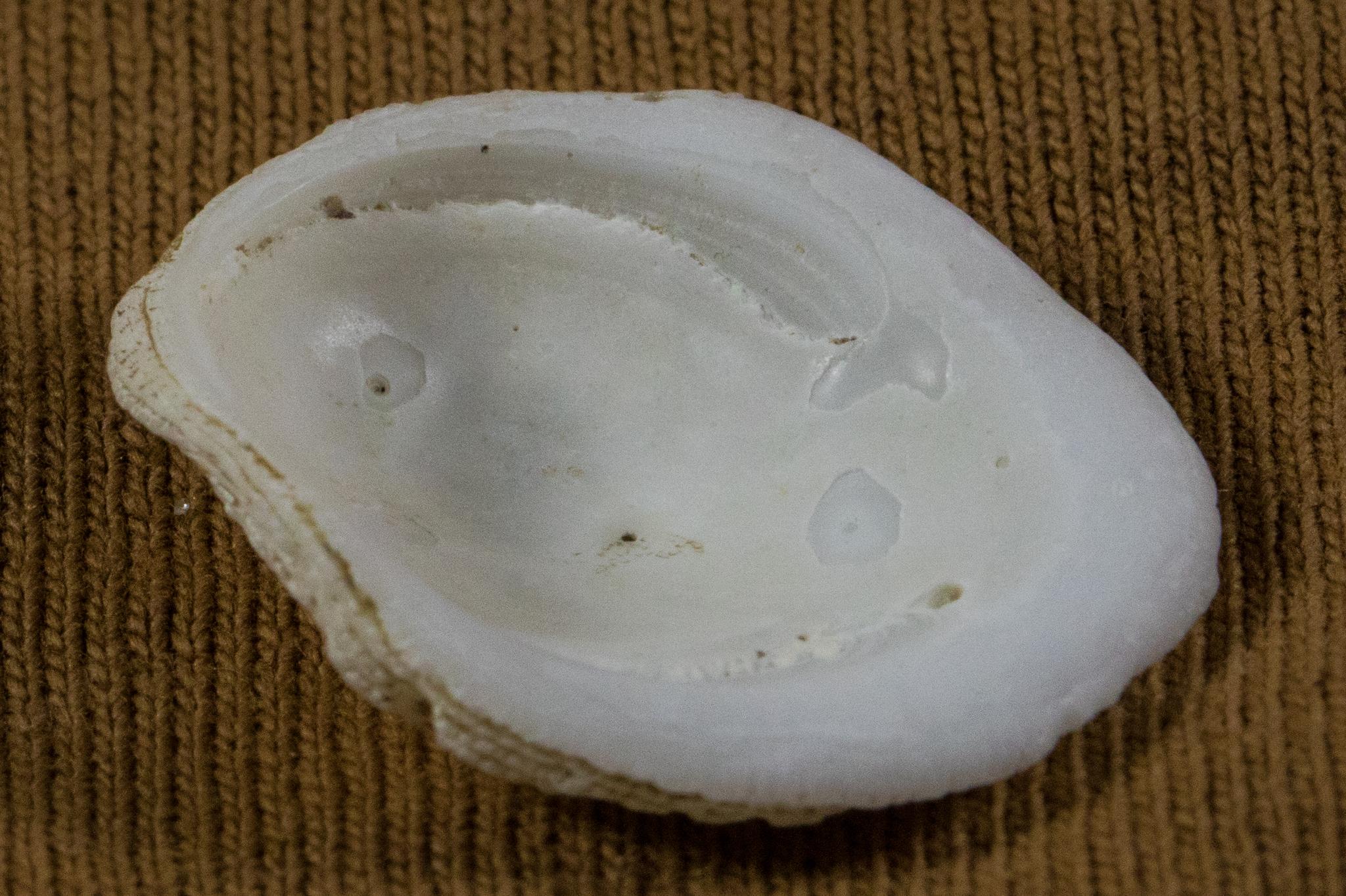 Image of white hoofsnail