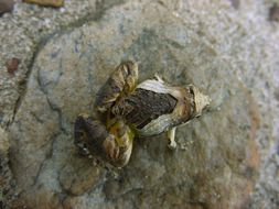 Image of Beautiful Pygmy Frog