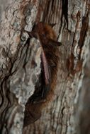 Image of <i>Myotis planiceps</i> Baker 1955