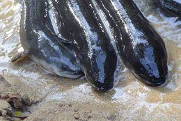 Image of New Zealand longfin eel