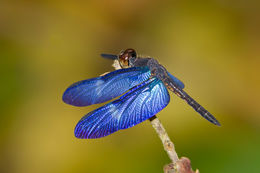 Image of Rainforest Bluewing