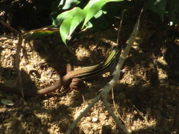 Image of Colima Giant Whiptail