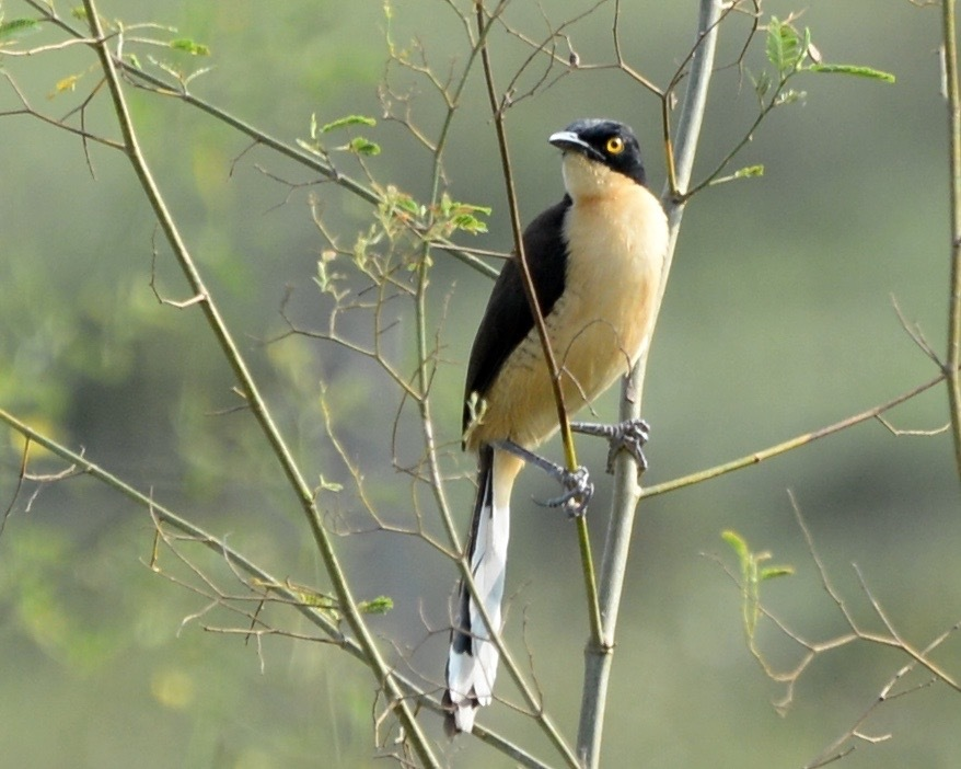 Image of Black-capped Donacobius