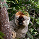 Image of Audebert's Brown Lemur
