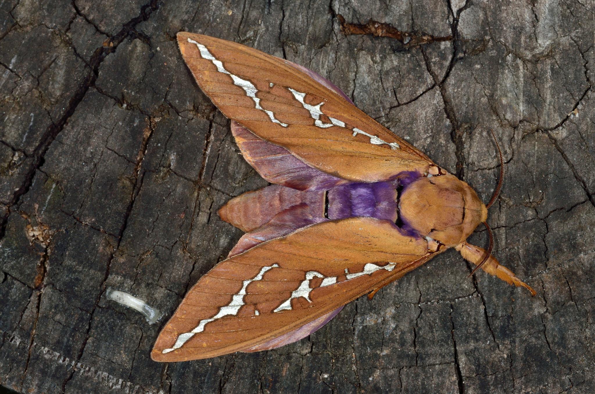 Image of <i>Abantiades hyalinatus</i>