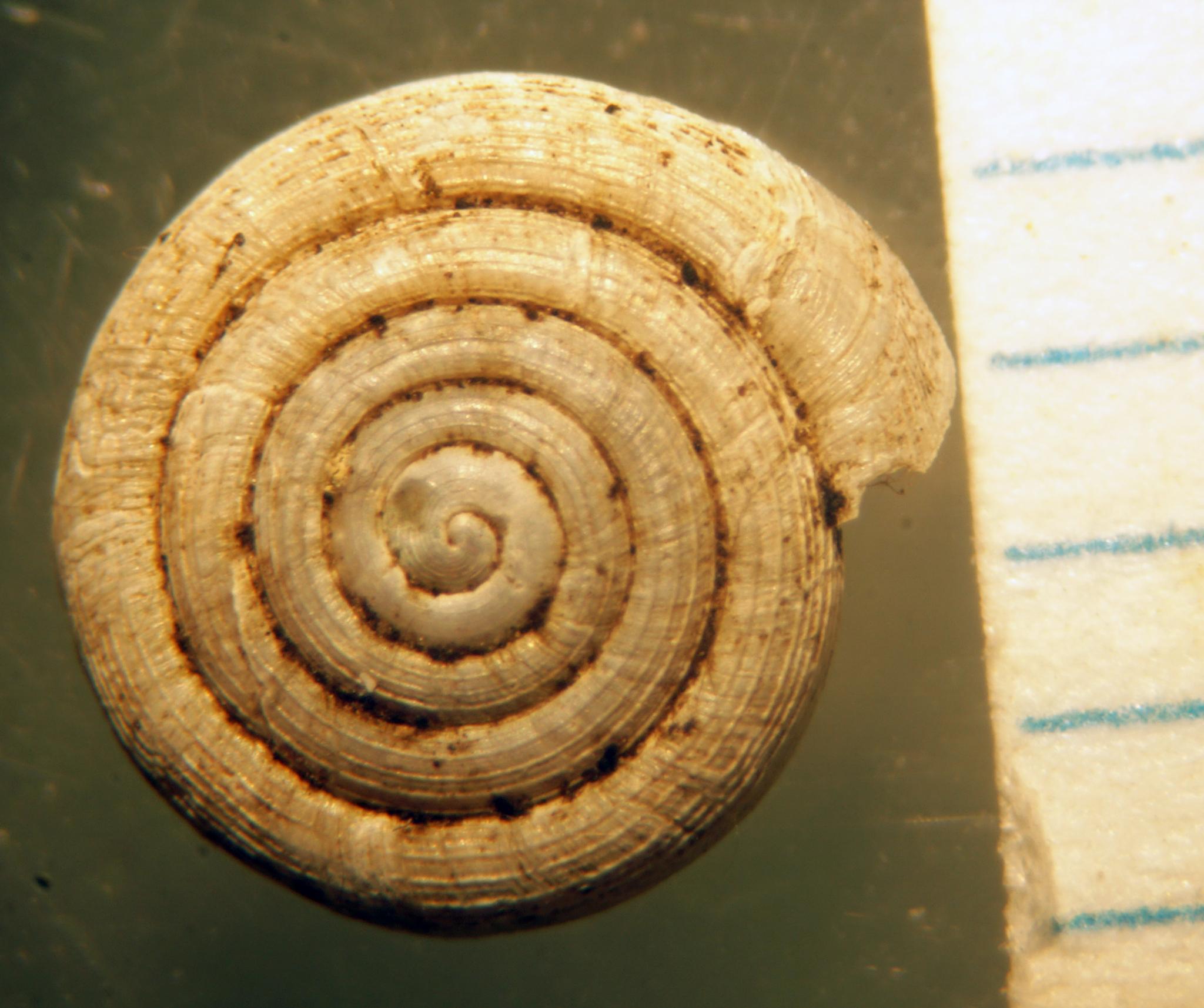 Image of <i>Helicodiscus eiganmanni</i>