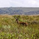 Image of Pampas Deer