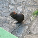 Image of Red-rumped agouti