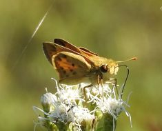 Image of <i>Hylephila <i>phyleus</i></i> ssp. phyleus