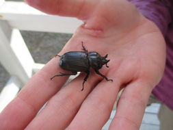 Image of Triceratops Beetle