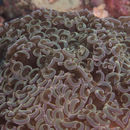 Image of Stony coral