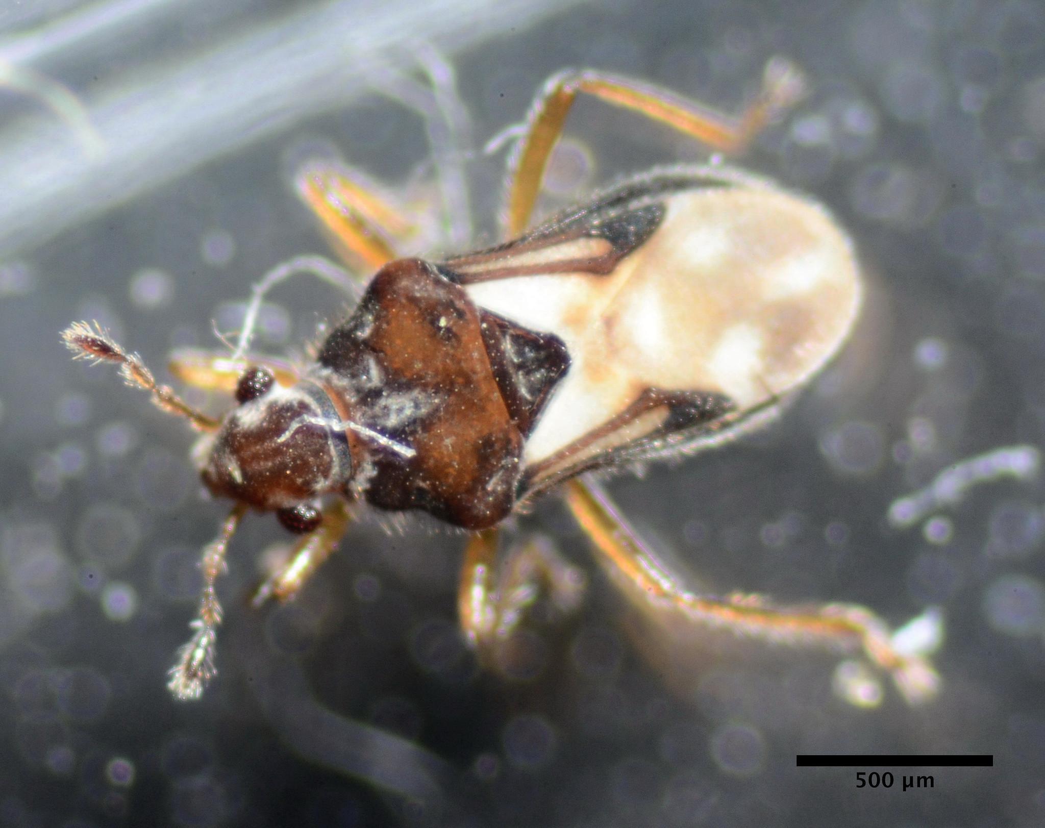 Image of Velvet water bug
