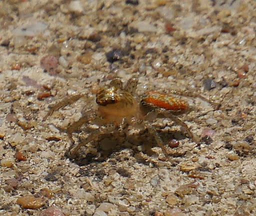 Image of Dimorphic Jumping Spider