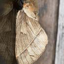 Image of <i>Pseudodirphia lacsa</i>