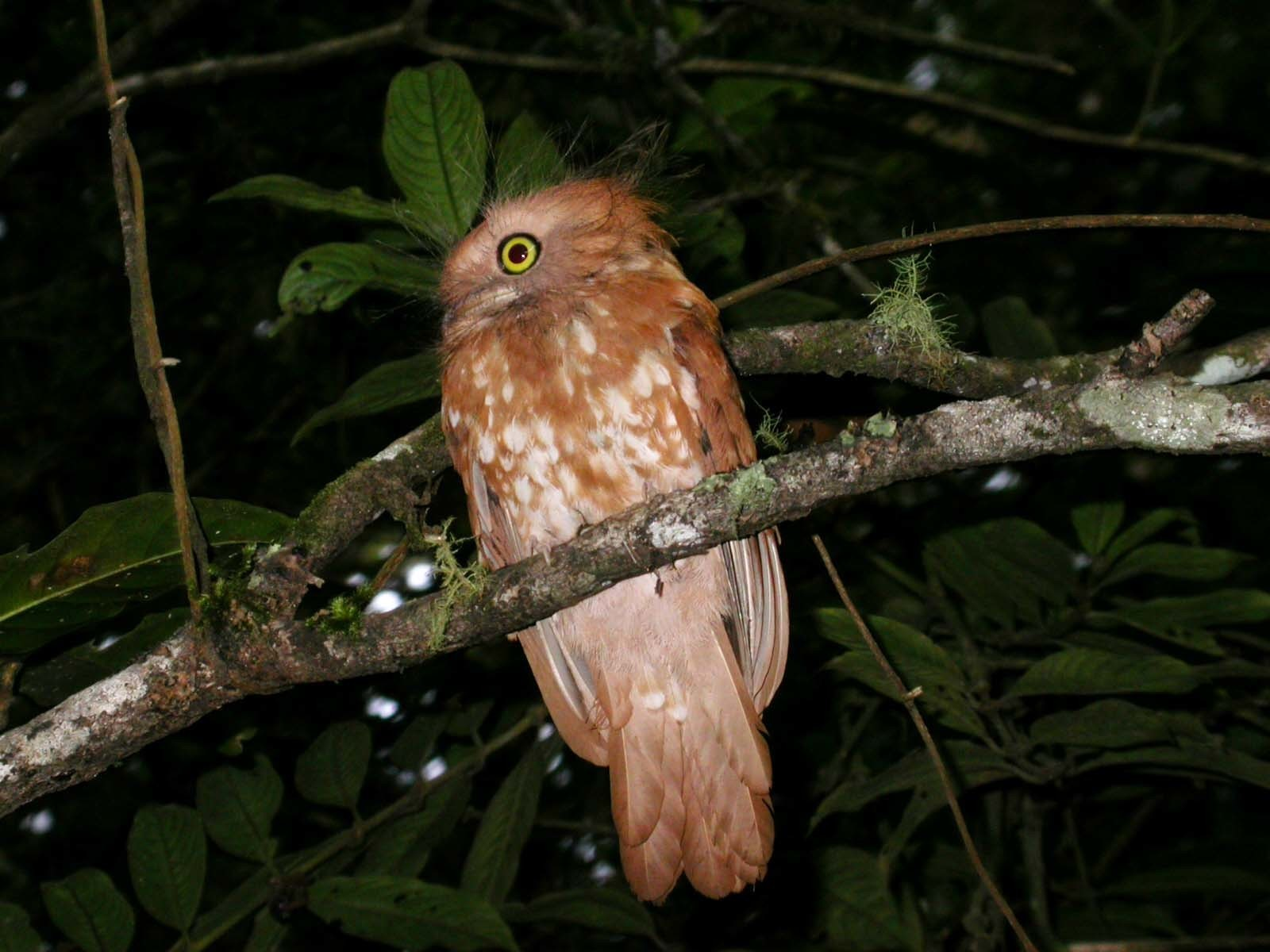 Image of Short-tailed Frogmouth