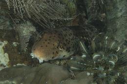 Image of Freycinet's Epaulette Shark
