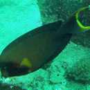 Image of Blackcheek Surgeonfish