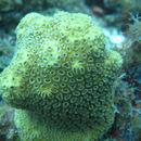 Image of <i>Dichocoenia stokesii</i> Milne Edwards